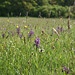 Field of orchids (Ed Drewitt)
