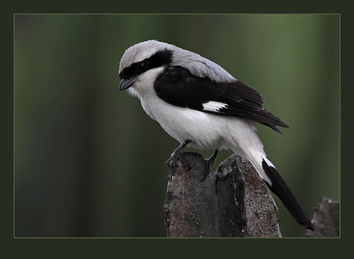 Grey-backed Fiscal (Lanius excubitoroides)