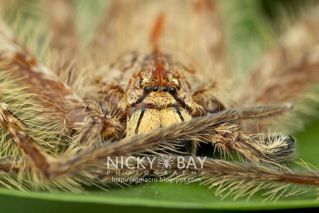 Huntsman Spider (Sparassidae) - DSC_2677