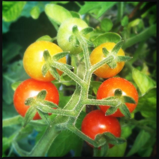 Tomato Mexican Midget 98