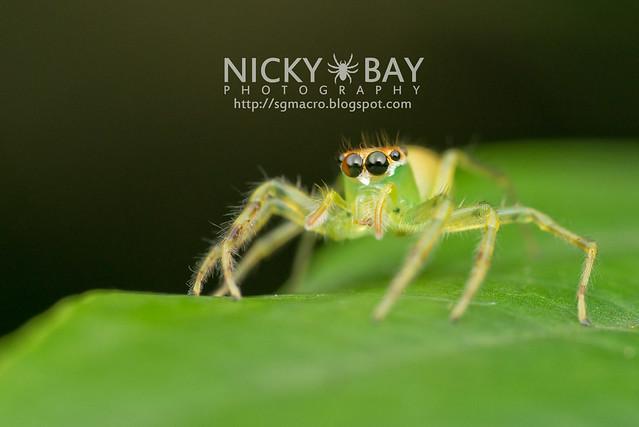 Yellow-Lined Epeus Spider (Epeus flavobilineatus) - DSC_6031