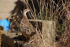 Pheasant?