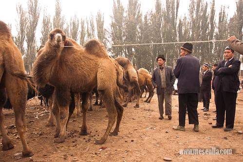 Camells bactrians al mercat de Kashgar