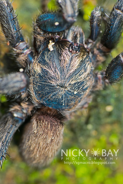 Brush-Footed Trapdoor Spider (Barychelidae) - ESC_0068