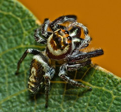 Cyclops Jumping Spider - Photo (c) Robert Whyte, some rights reserved (CC BY-NC-ND)