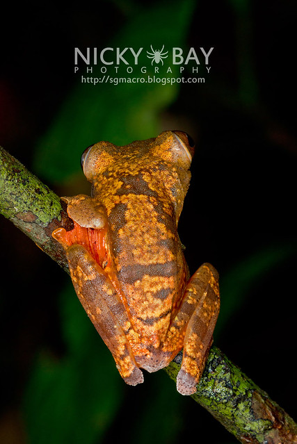 Harlequin Flying Frog (Rhacophorus pardalis) - DSC_8928