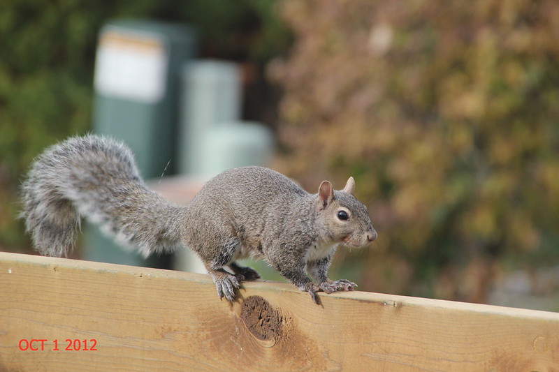 GRAY SQUIRREL WALKING ON DECK RAILING AT HOME IN WAUNAKEE