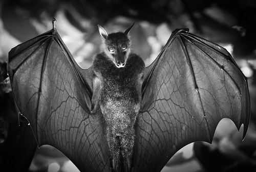 2010_ac_vampire bat 2 by Wellsman2010