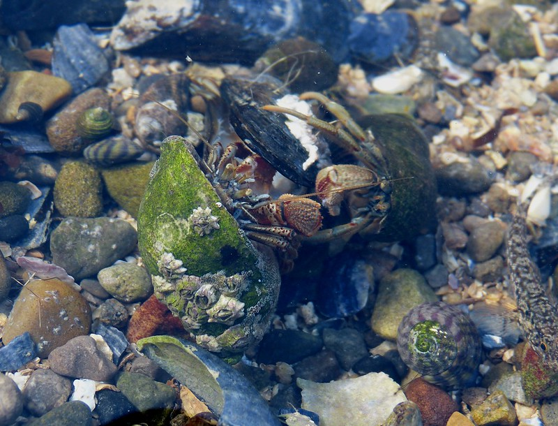 28830 - Hermit Crabs, Mumbles Rockpool