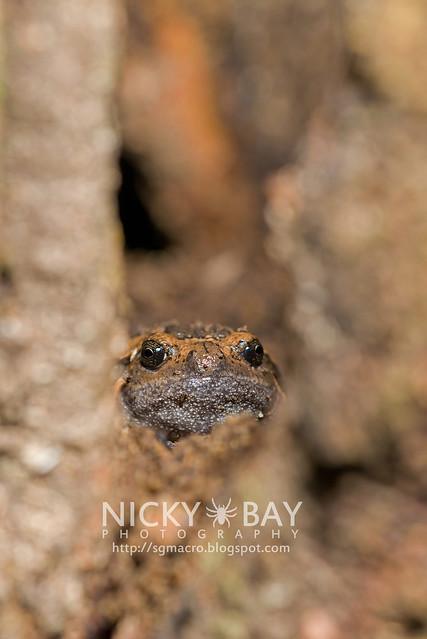 Treehole Frog hiding in tree trunk (Metaphrynella sp.?) - DSC_6607