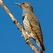 Northern Flicker - IMG_8155-1