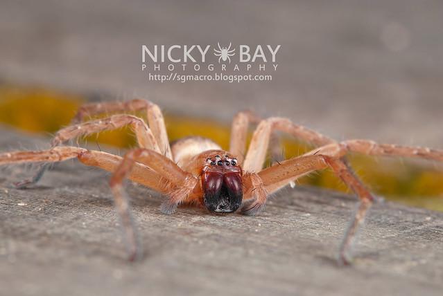 Huntsman Spider (Sparassidae) - DSC_3307