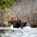 Upper Peninsula of Michigan moose by gkretovic