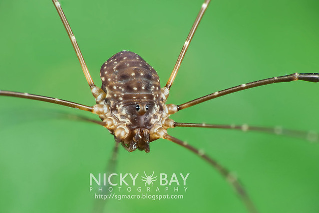 Harvestman (Opiliones) - DSC_2901