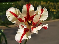 Dutch Tulip, Keukenhof Gardens, Holland - 0664