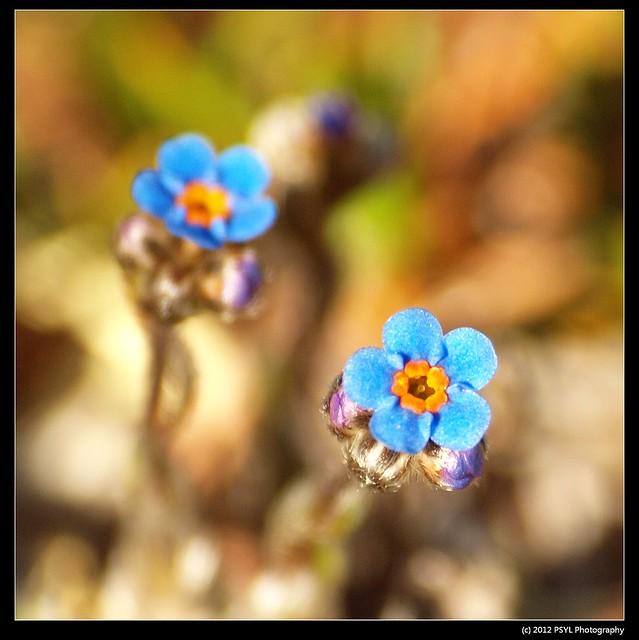 Arctic Forget-me-not (Eritrichium aretiodes)
