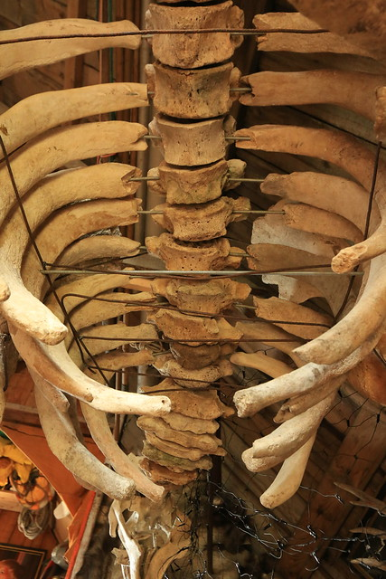 Species Extinct Steller's Sea Cow Skeleton Nikholskoye Settlement Bering Island Commander Islands Bering Sea Russia Far East