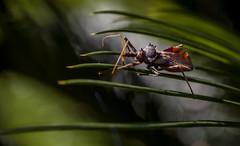 Common Assassin bug copyright Rosie Nicolai