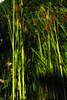 Web bullrushes