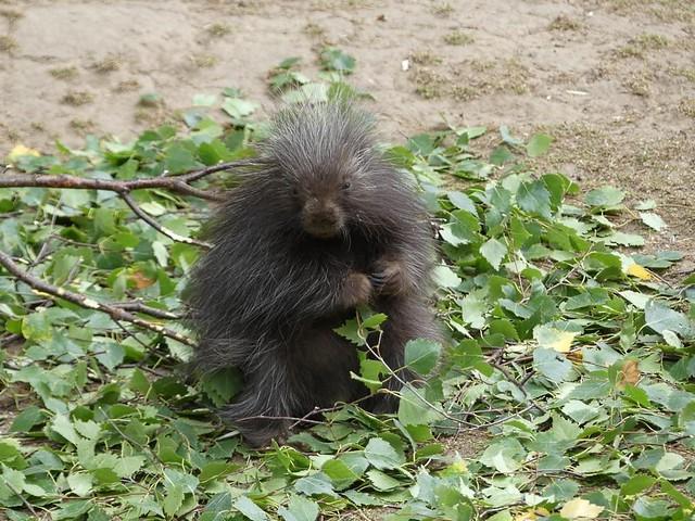Baumstachlerbaby, Zoo Magdeburg