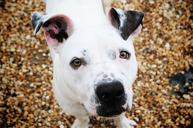 american bulldog mixed with staffordshire terrier