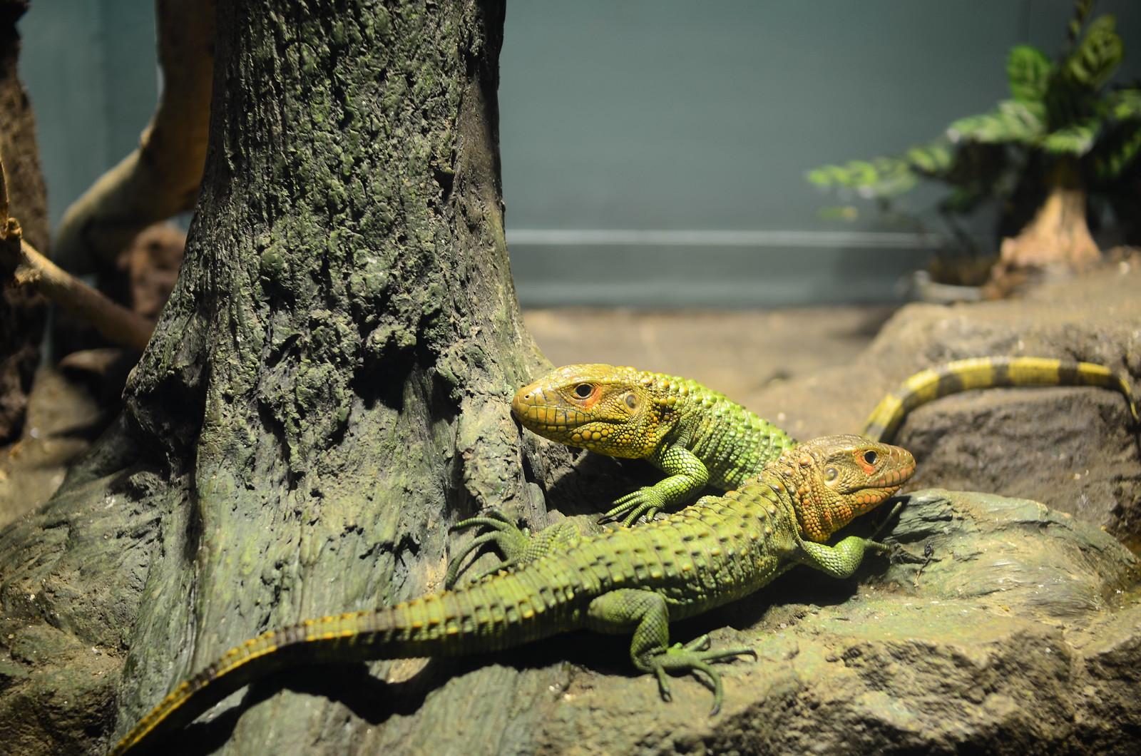 Jacuruxy Lizard