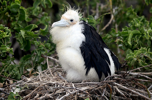 Molting Frigate Bird Chick in eye level nest by gladner (100,000 views? Thanks!)