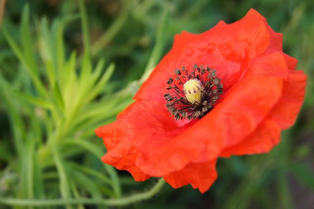 poppy pictures poppy photo sharing poppy photography model mayhem poppy photography groupon poppy video poppy flowers stock photos poppy beautiful poppies