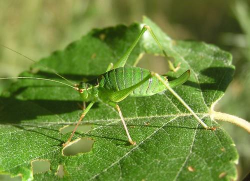 Leptophyes punctatissima - Leptophye ponctuée ou Sauterelle ponctuée (♀) - Speckled bush-cricket - 07/09/12