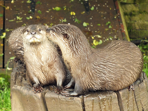 two river otters standing on a stump. One looks like it's whispering in the other otter's ear. The listening otter has a dismayed expression