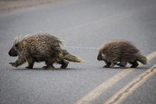[フリー画像素材] 動物 1, 哺乳類, ヤマアラシ, 動物 - 親子 ID:201210200400