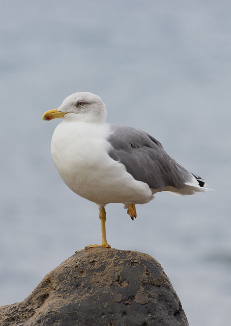 Yellow legged gull portrait 2