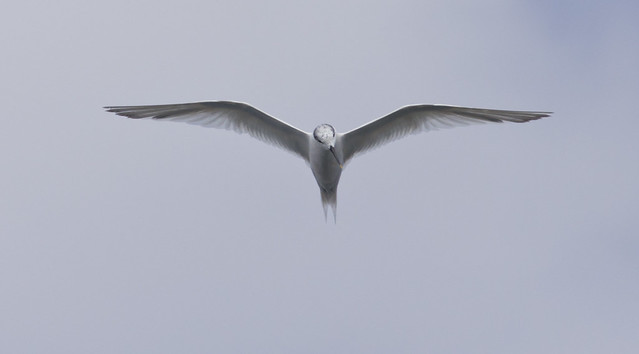 sandwich tern head on in flight  - Puerto del Carmen Marina