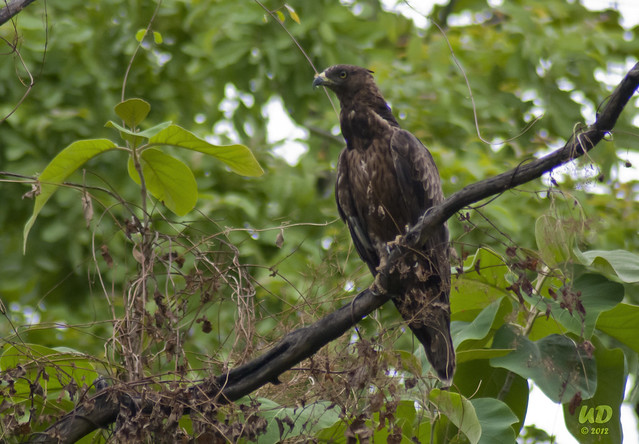 oriental honey buzzard - bird of nagpur city
