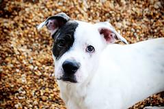 Orion, American Bulldog/American Staffordshire Pitt mix