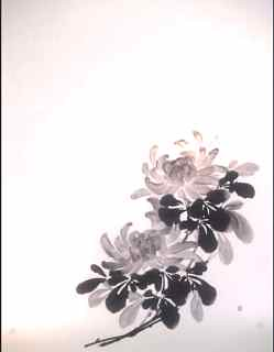 Chrysanthemum - 菊 -
