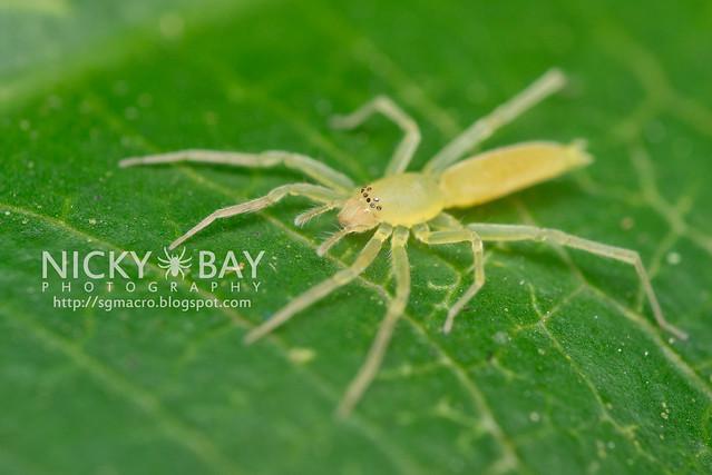 Sac Spider (Clubionidae) - DSC_5094