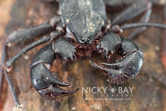 Whip Scorpion (Thelyphonida) - DSC_4184