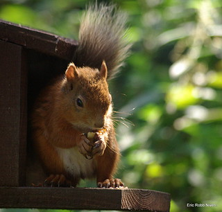 Red Squirrel at Loch of the Lowes.