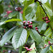 Frangula caroliniana (Carolina Buckthorn):  North Carolina Botanical Gardens