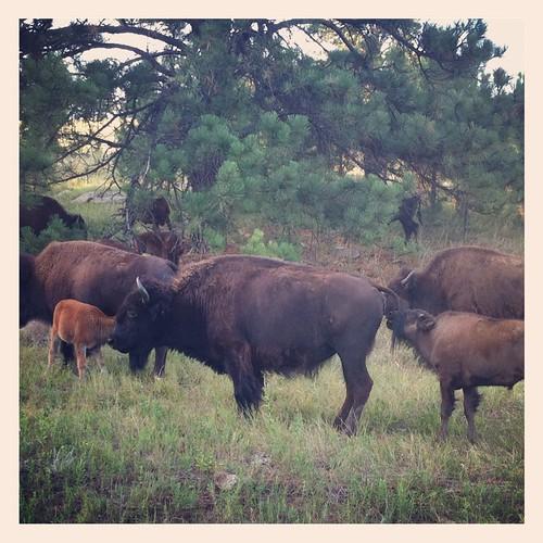 EV Bison Custer State Park
