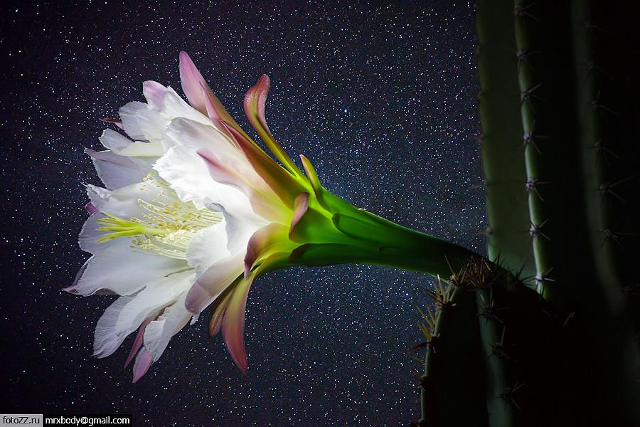 One night flower