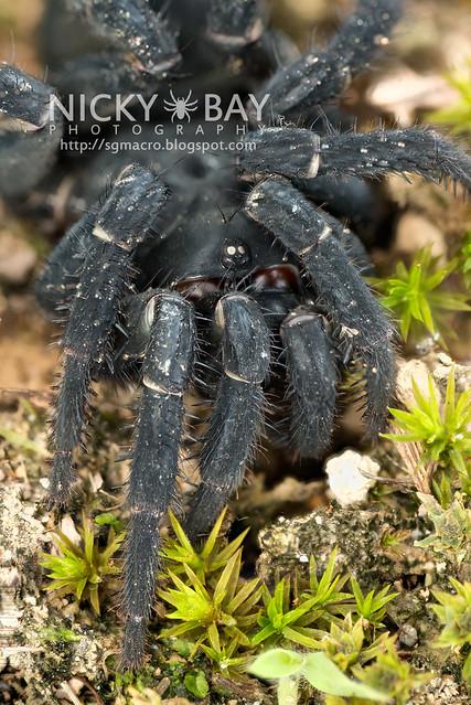 Black Armoured Trapdoor Spider (Liphistius malayanus) - DSC_6172