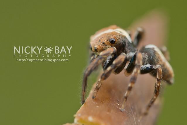 Jumping Spider (Salticidae) - DSC_5815