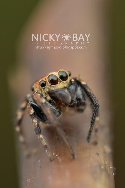 Jumping Spider (Salticidae) - DSC_5812