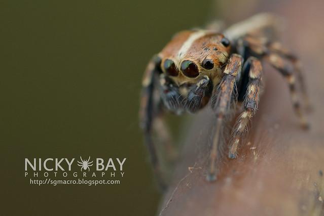 Jumping Spider (Salticidae) - DSC_5811