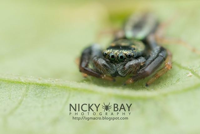 Jumping Spider (Salticidae) - DSC_5651