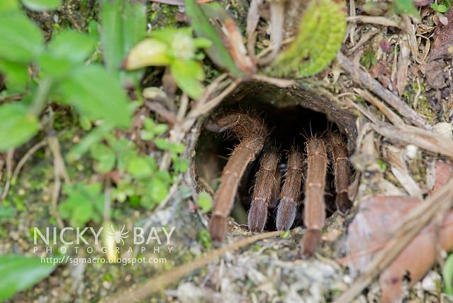 Tarantula (Theraphosidae) - DSC_5355