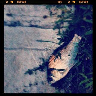 ヘラブナしか釣れなかった。