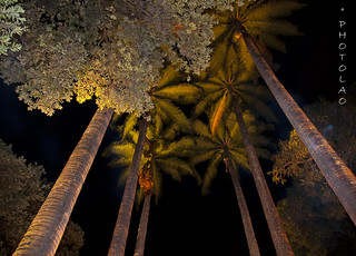 IMPERIAL PALM TREES
